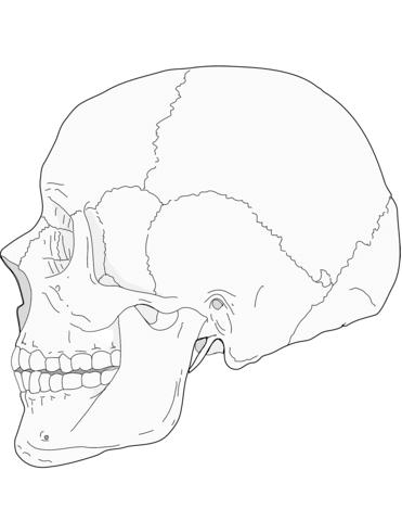 Cráneo humano vista lateral Dibujo para colorear